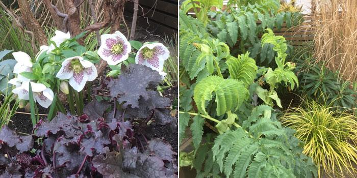 Hellebore hybrid Spring Promise and Caroline's front garden border.
