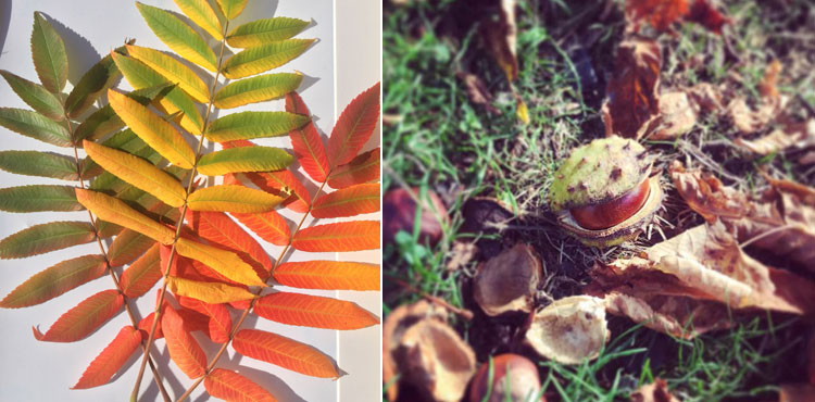 Rhus typhina leaves and a conker