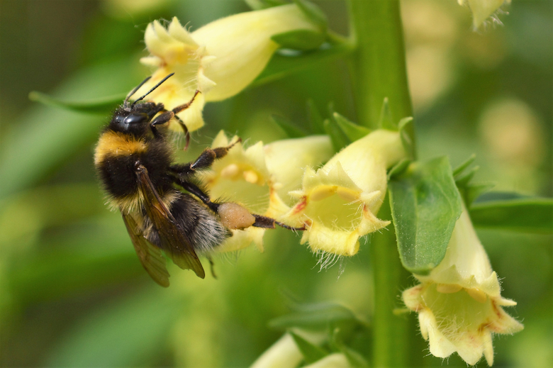 bumblebee on a yellow foxglove