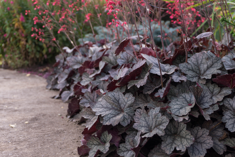 image of dark red heuchera plants in a border