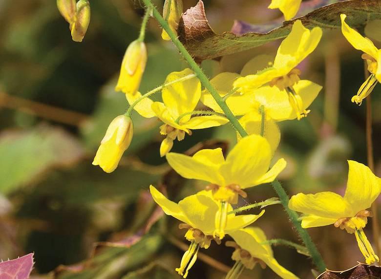 Yellow flowers of Epimedium 'Frohnleiten' from Thompson & Morgan