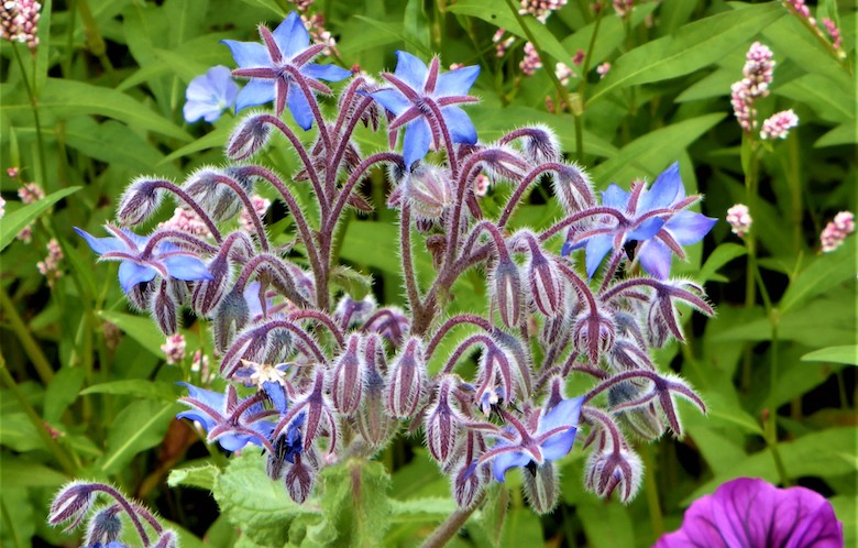Closeup of purple borage from the RHS