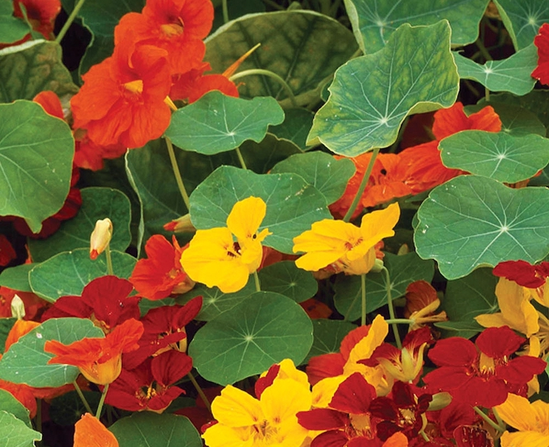 Mr Small's Nasturtium Whirlybird Mixed from Thompson & Morgan