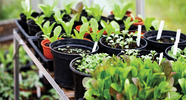 pots of plug plants and seedlings