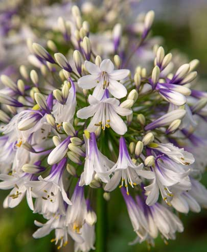 Thompson & Morgan Takes Third With Agapanthus 'Fireworks'