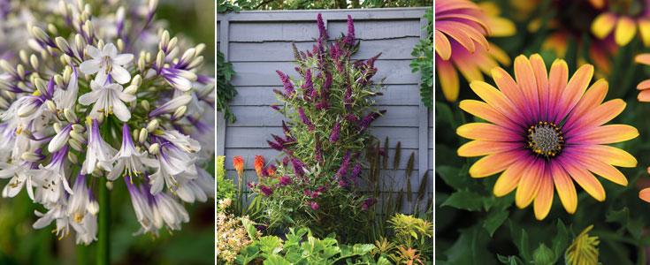 Agapanthus 'Fireworks', Buddleja 'Butterfly Towers' and Osteospermum 'Purple Sun'
