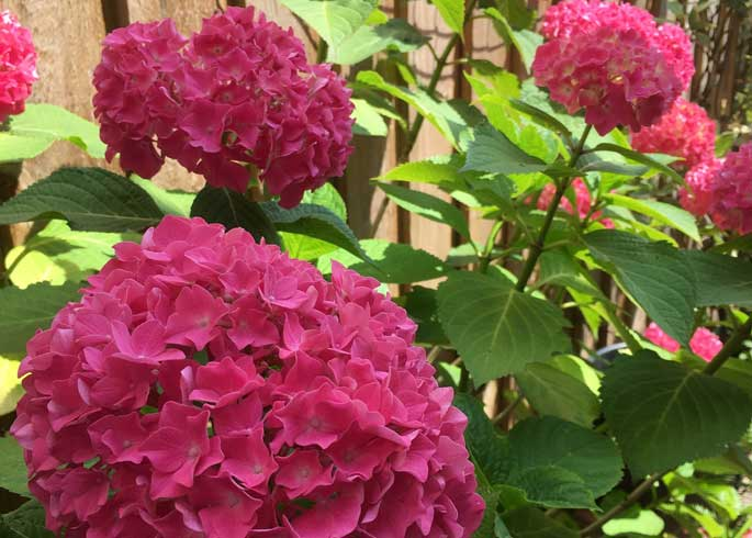 Pink Hydrangea flowers of 'King George V'