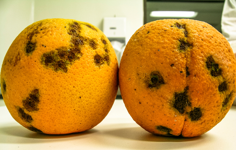 Oranges infected with CVC, a disease caused by the bacterium Xylella fastidiosa
