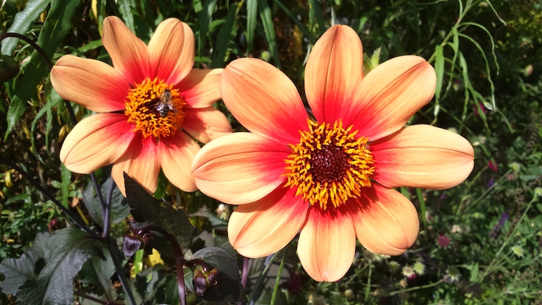 Image of Happy Single Date dahlias