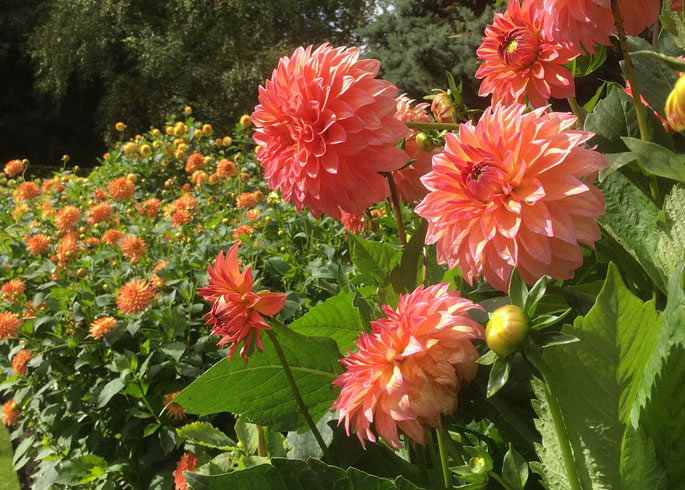 Dahlias at Anglesey Abbey, Cambridgeshire