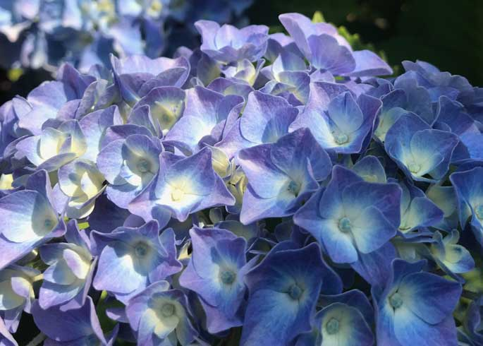 Beautiful blue Hydrangea flower