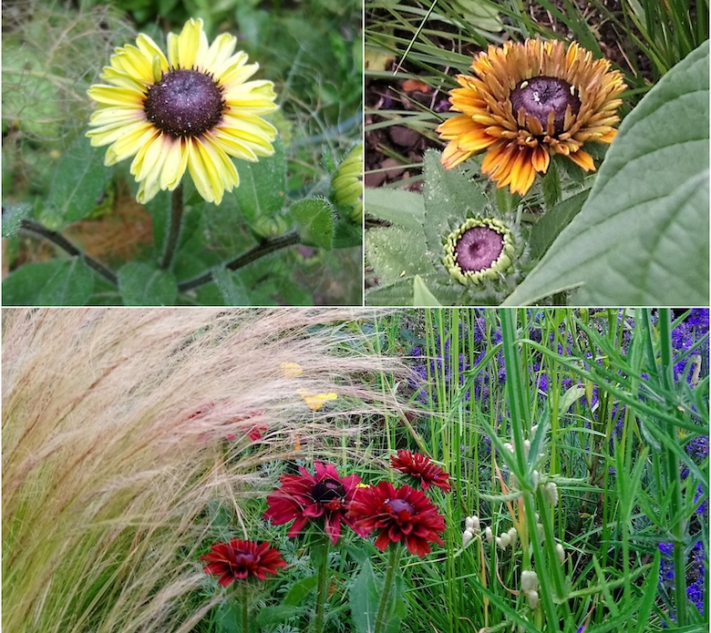 Selection of rudbeckia images from Nic Wilson from dogwooddays