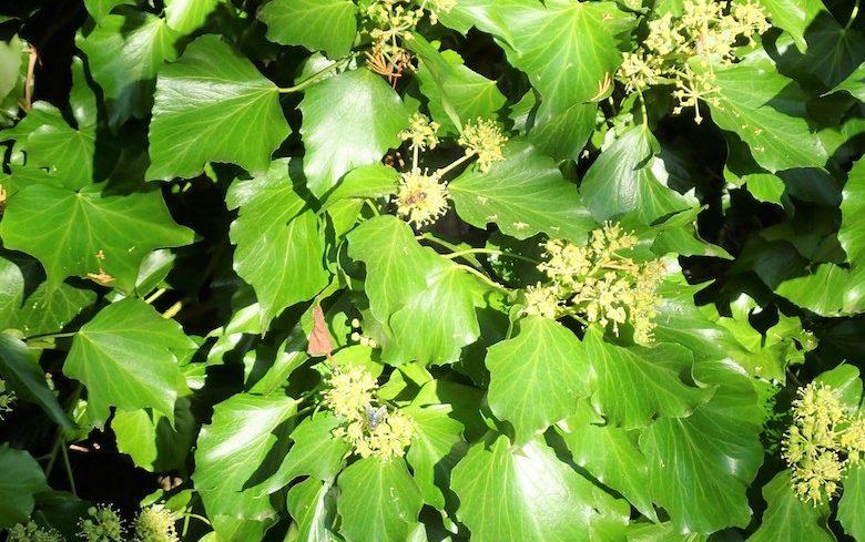 English ivy in a garden
