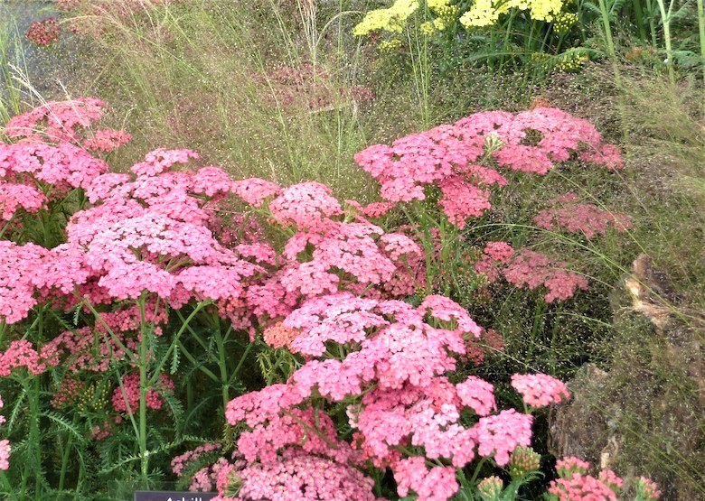 Carpet of pink achillea