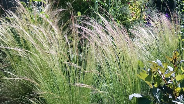 Stipa tennuissima from dogwooddays
