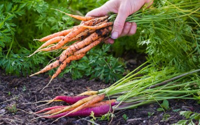 Perfect gardens: tips for growing veg