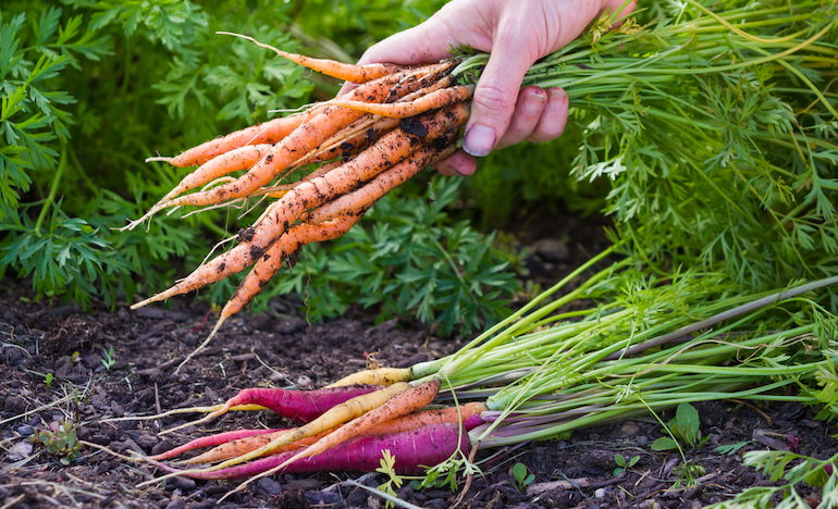 freshly-harvested-carrots-veg-growing-top-tips