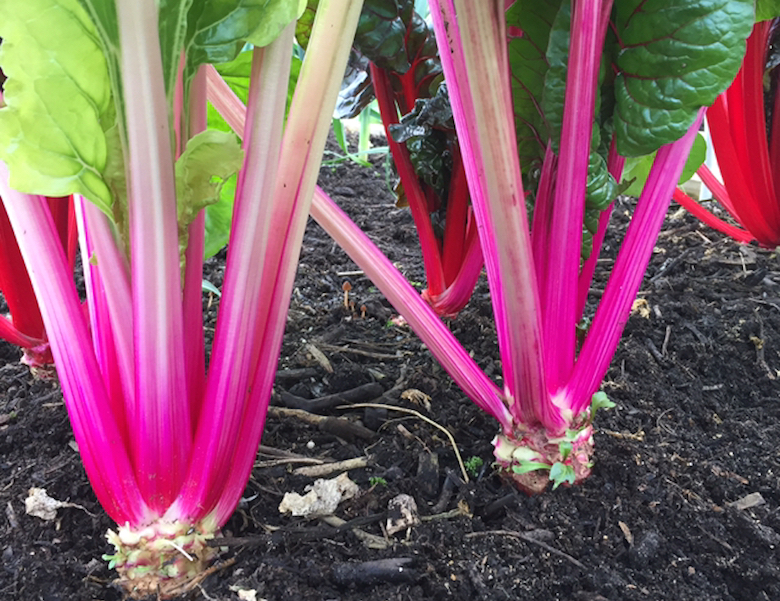 Swiss-chard-closeup-veg-growing-tips