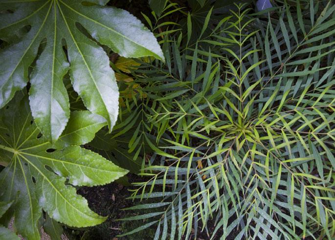 Fatsia japonica and Mahonia 'Soft Caress'
