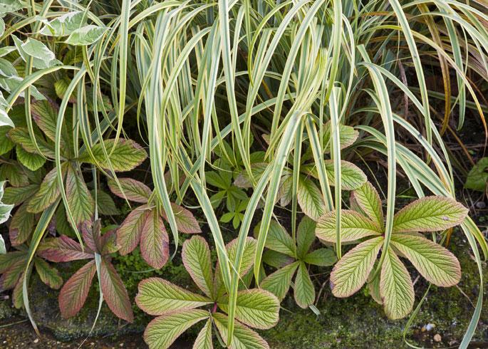 Carex trifida and Rogersia aesculifolia