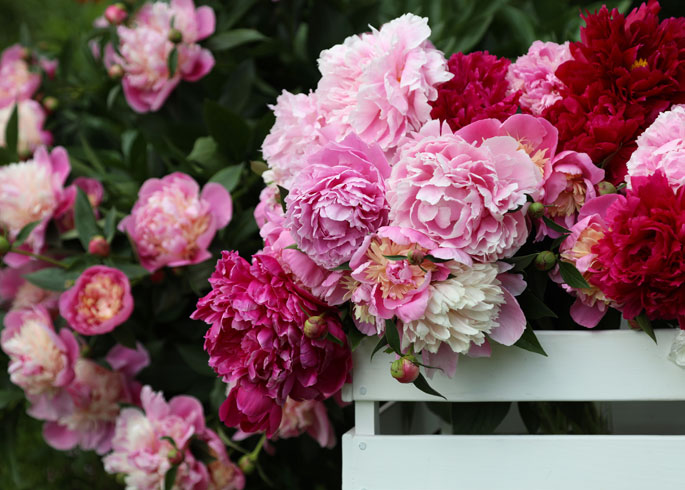 red, white and pink peonies