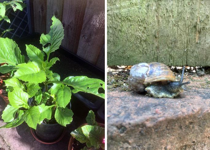 snails on dahlias