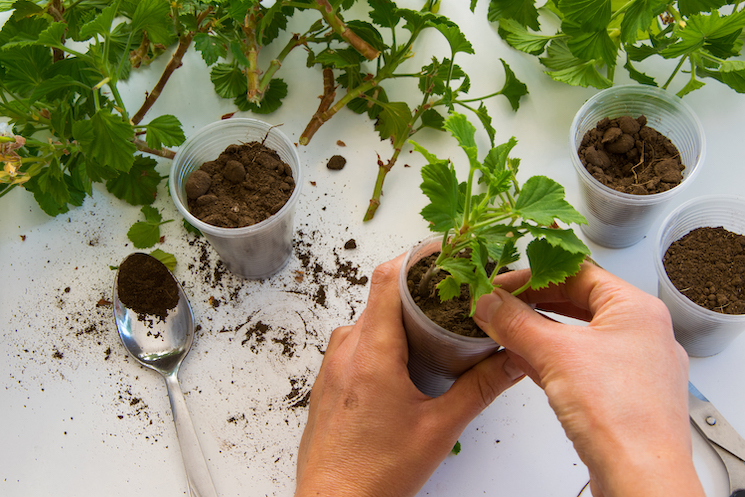 potting geranium cuttings