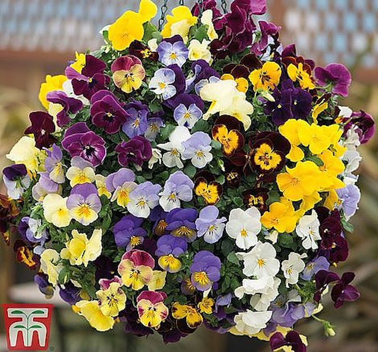 Nurseryman's Choice Pansy 'Coolwave Collection' from T&M