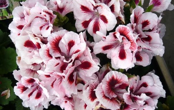 Fleur de géranium royal.