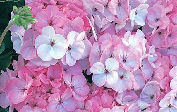 Geranium 'Horizon F1 Appleblossom' fleurit.