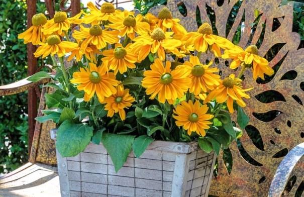 Rudbeckia hirta 'Amarillo Gold' (NOUVEAU)
