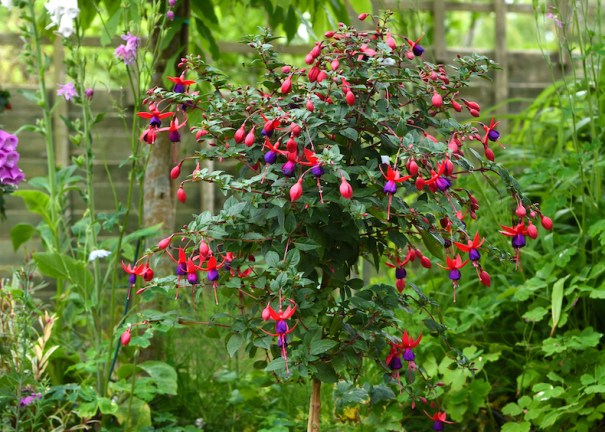 NEW Fuchsia 'Angela' (Hardy) from T&M