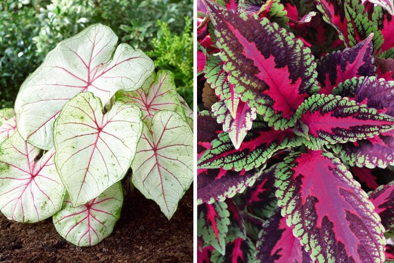 Caladium and Coleus
