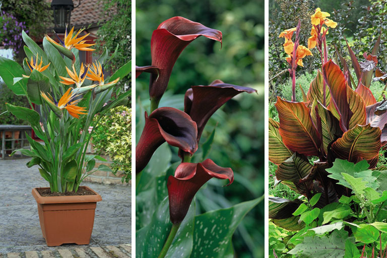 Strelitzia, Calla and Canna
