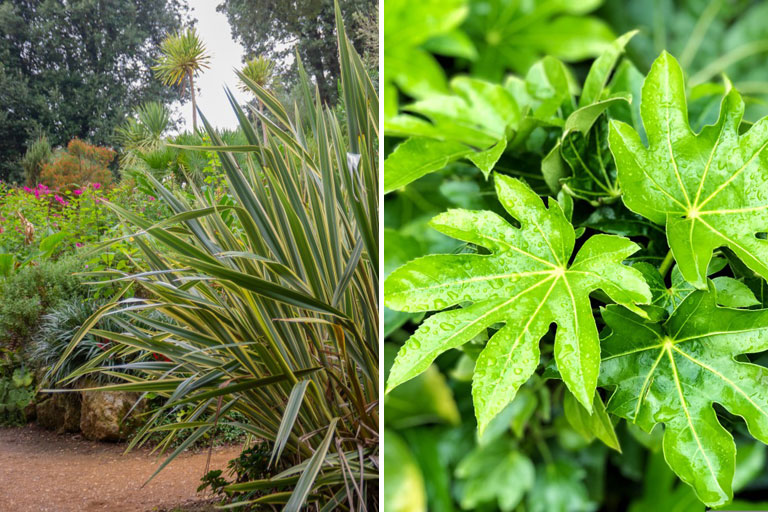 Fatsia and Cordyline
