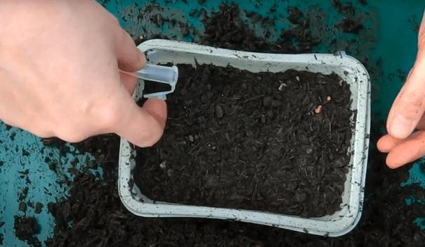 saupoudrer à la main des graines de pétunia