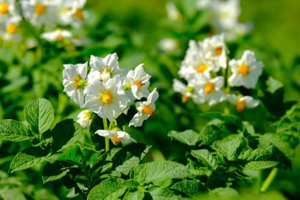 Closeup of potato flowers