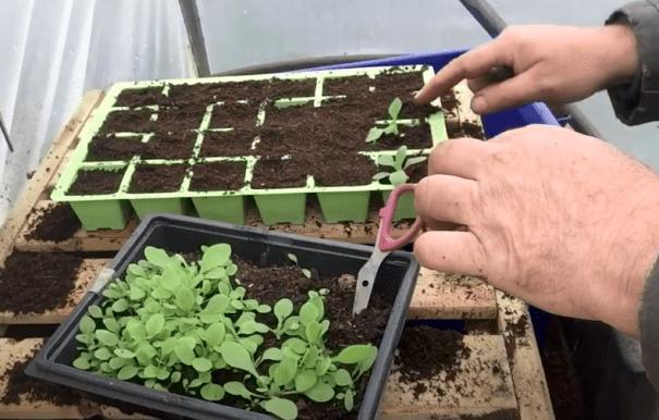 Personne en pot des semis de pétunia