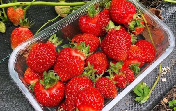 Clear plastic punnet of strawberries