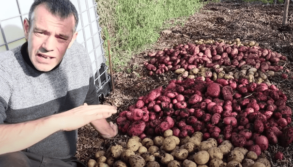 collection of red and yellow potatoes