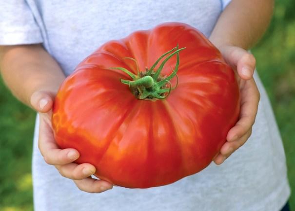 Tomato 'Gigantomo'® F1 Hybrid from Thompson & Morgan