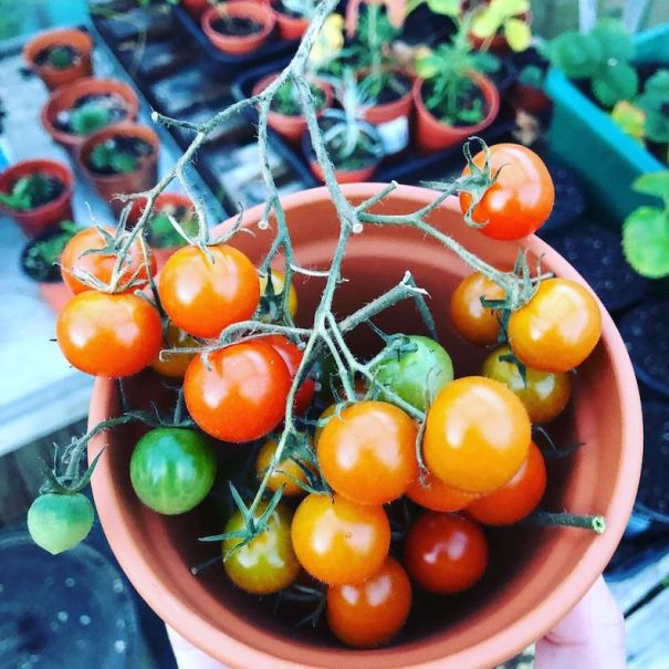 Tomatoes growing in a greenhouse in winter