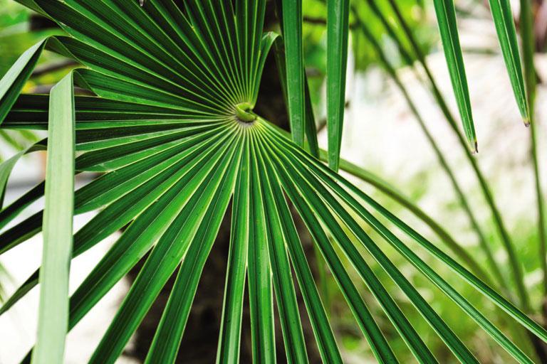 Trachycarpus palm