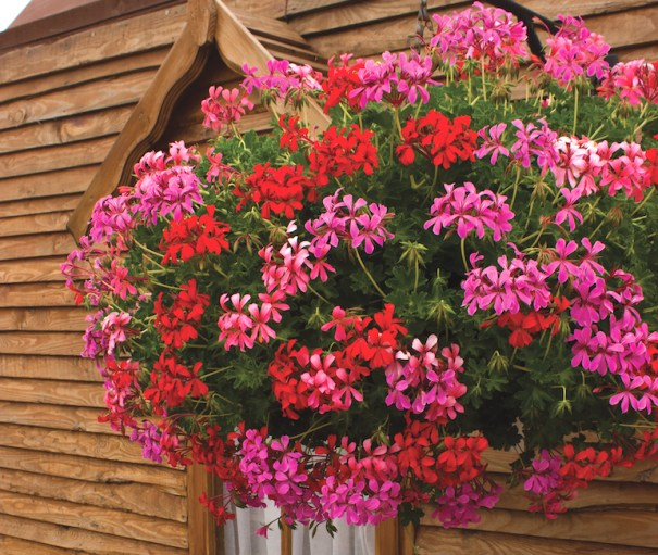 Geranium 'Balcon Mix' de Thompson & Morgan