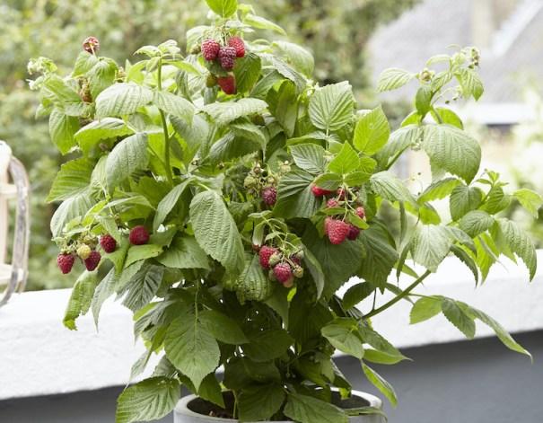 Raspberry 'Little Sweet Sister' from Thompson & Morgan