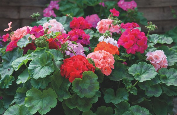 Geranium 'Jackpot Mixed' F1 Collection from Thompson & Morgan