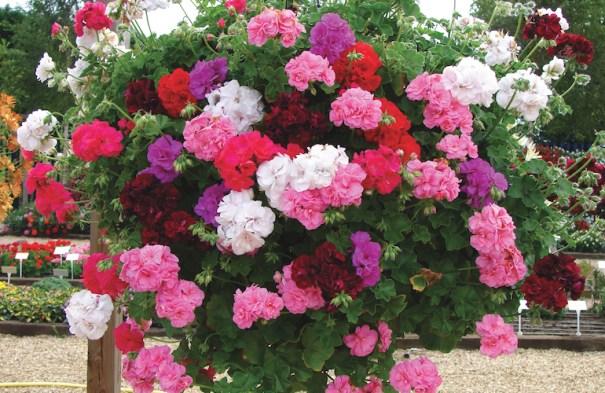 Géranium 'Rosebud Collection'