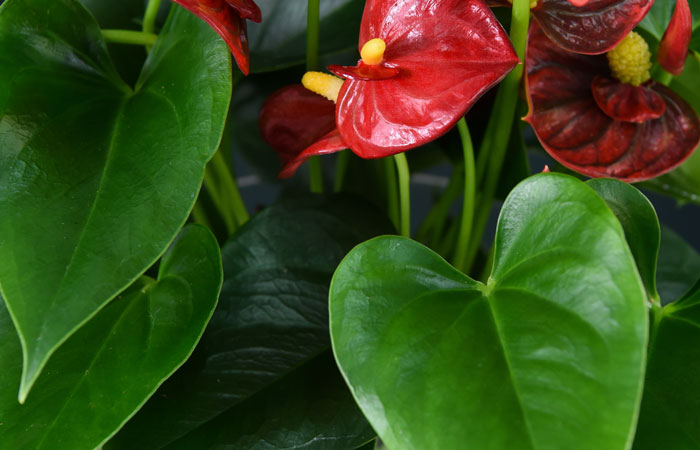 Anthurium Plant Care Guide Blog At, What Is The Usual Meaning Of Term Bedding Plant