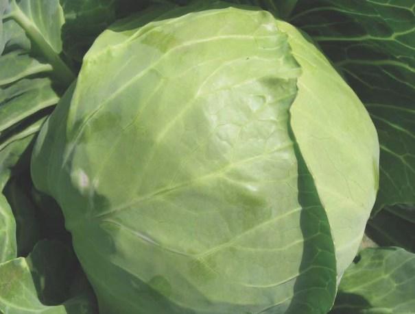 Cabbage 'Hero' F1 Hybrid (Spring)