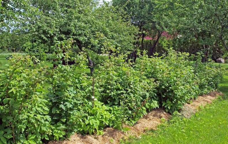 Mulching raspberries in garden